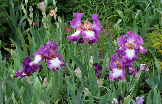 Iris Footlose (2)
