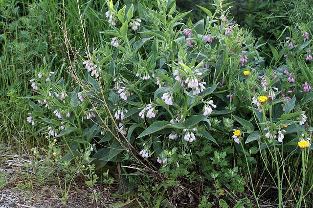 Symphytum x uplandicum ( asperum x officinalis)-Consoude de Russie