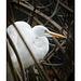Snowy Egret in mangroves