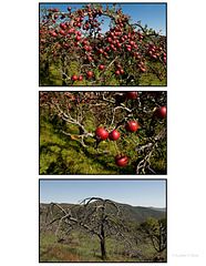 Apple Tree Triptych
