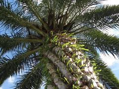 Stately Palm ... Lake Mirror