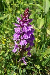 Dactylorhyza fuchsii, orchis de Fuchs, Orchidées, Espagne