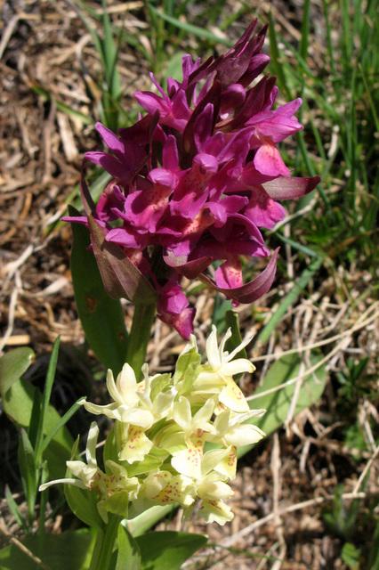 Orchis à odeur de sureau, Dactylorhiza sambucina, Orchidées (Aubrac, département de l'Aveyron, Midi-Pyrénées)