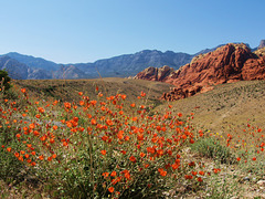Globe Mallow and Calico Hills, Las Vegas (Explored)