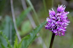 Orchis simia, orchis singe, Orchidées, Lozère, France