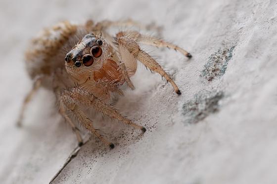 Beautiful Jumping Spider