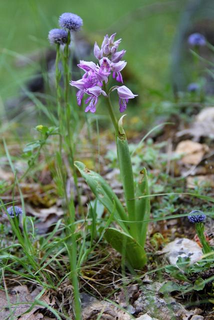 Orchis militaris, orchis militaire, Orchidées, Lozère, France