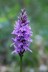 Dactylorrhiza fuchsii, orchis de Fuchs, Orchidées, Lozère, France