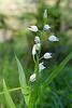 Cephalanthera longifolia, céphalanthère à longues feuilles, Orchidées, Lozère, France