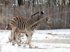 Damara-Zebra (Zoo Heidelberg)