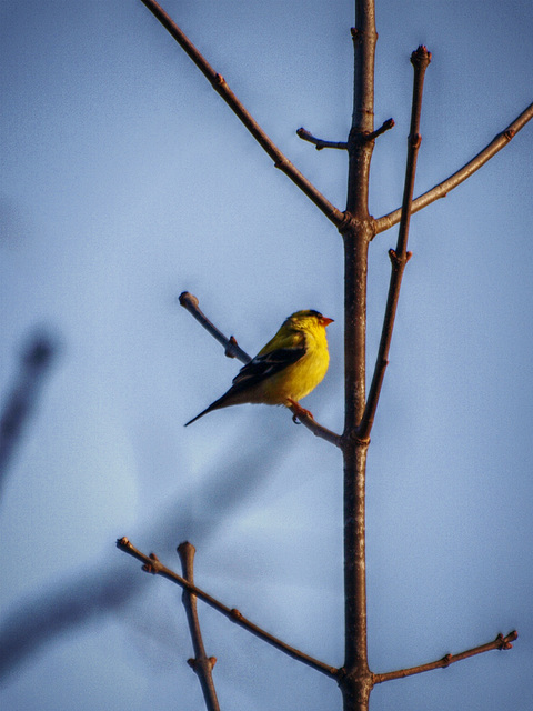 yellow bird of happiness