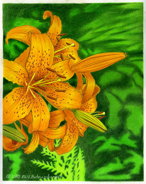 """Tiger Lilly 1"", color pencil, 11x14in"