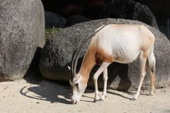Säbelantilope (Zoo Karlsruhe)