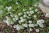 Petites fleurs blanches : Alysses