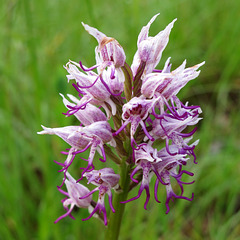 Orchis singe, Orchis simia, monkey orchid, Orchidées, Lot, France