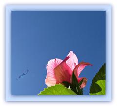 - link from 'pink lemonade' flower to Seminole pink Hibiscus