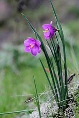 Grass Widows