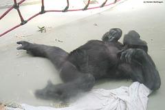 Gorillakind (Wilhelma)