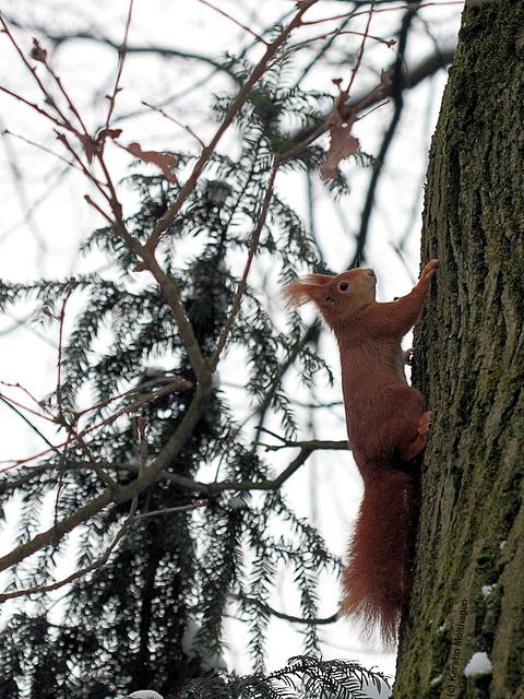Eichhörnchen I (Wilhelma)