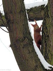 Eichhörnchen II (Wilhelma)