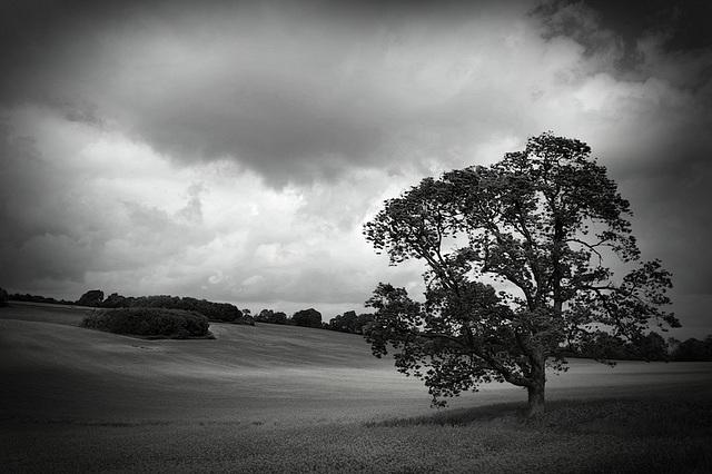 Tree in oilseed rape field - Mono version.