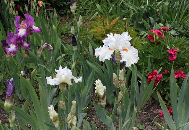 Iris 'Nordica' (2)