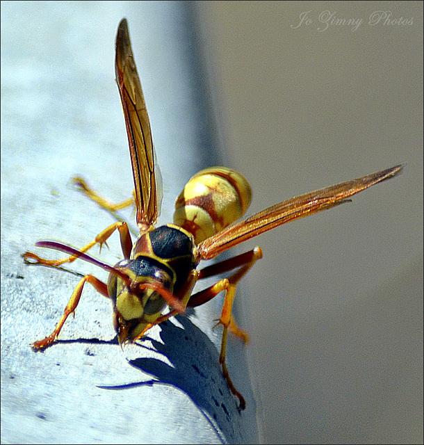 Paper Wasp On The Birdbath