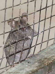 Maus (Wilhelma)