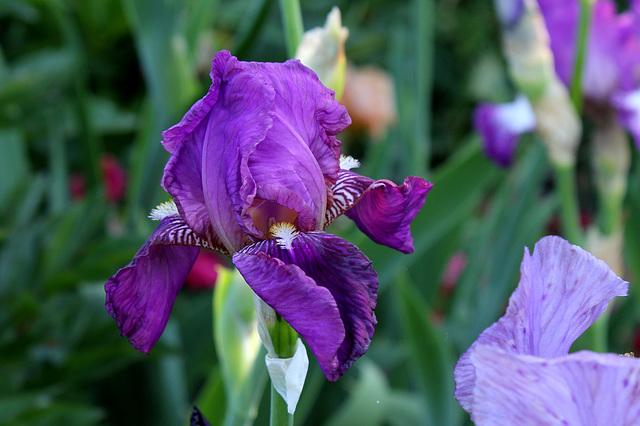 Iris ancien pourpre