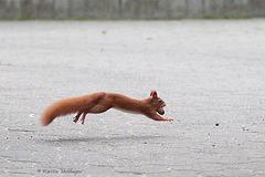 Fliegendes Eichhörnchen (Wilhelma)