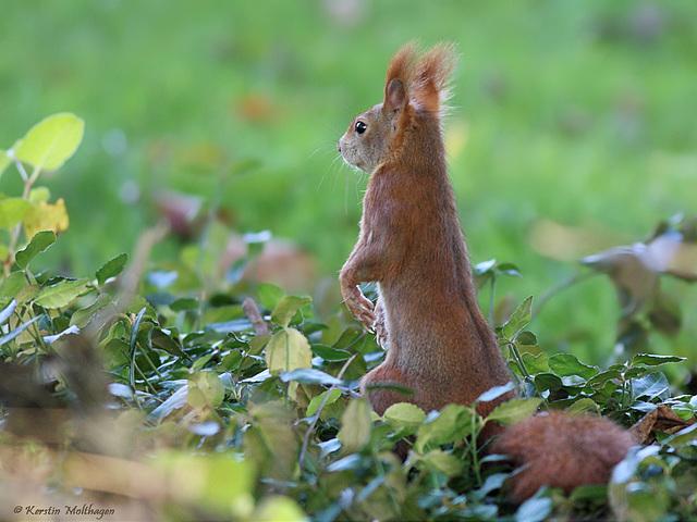 Eichhörnchen (Wilhelma)