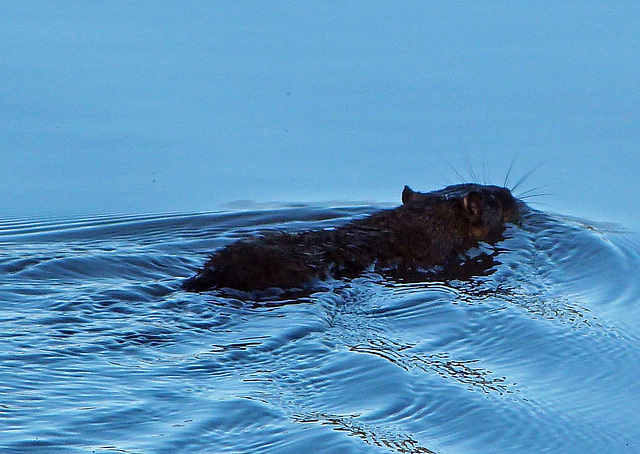 native water rat makes a swift exit