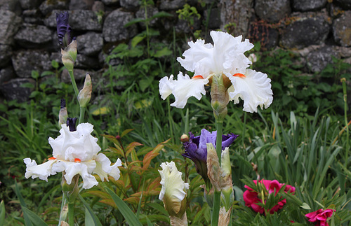Iris 'Nordica' (3)