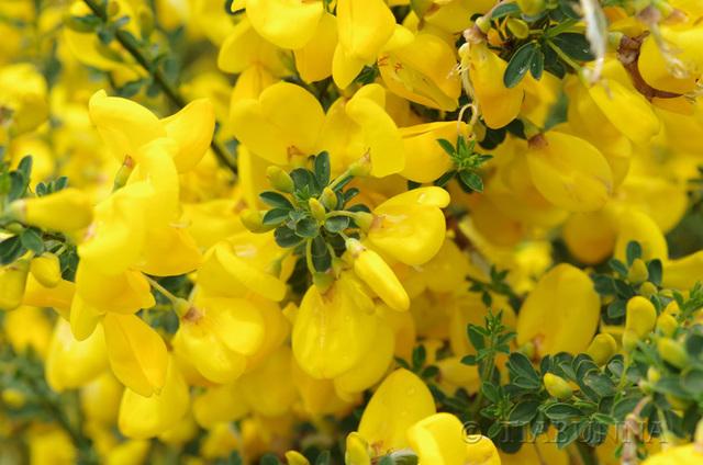 Yellow Tasmanian Flowers .... Ooops!