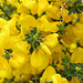 Yellow Tasmanian Flowers .... Ooops!