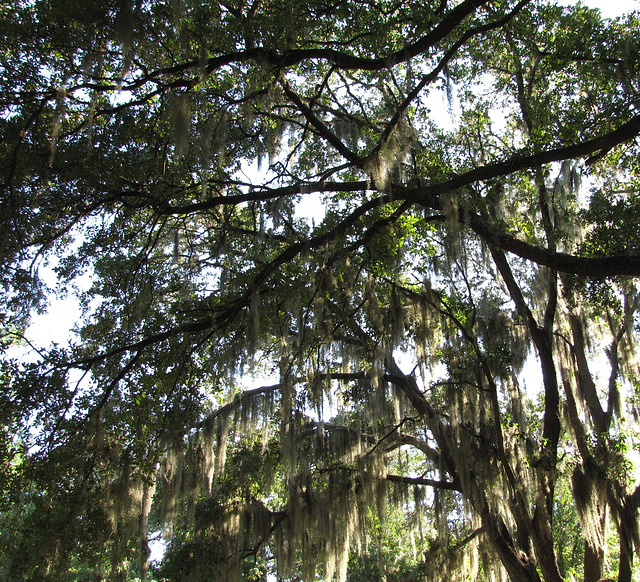 Late afternoon & Spanish moss ..