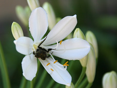 Blume und Biene(?) (Wilhelma)