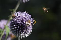 Von Bienen und Blumen ... (Wilhelma)
