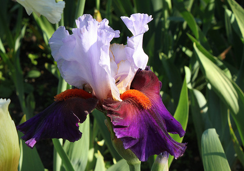 Iris Sharp shooter