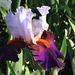 Iris Sharpshooter- Keppel 2000