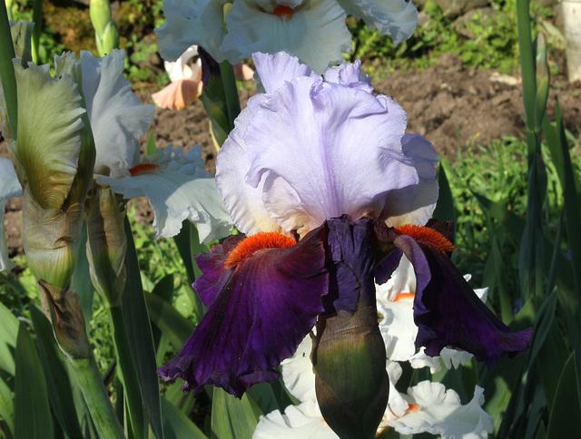 Iris Sharpshooter (2)