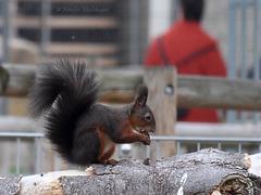 Eichhörnchen im Streichelzoo (Wilhelma)