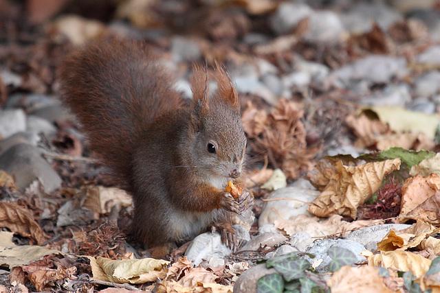 Eichhörnchen beim Essen (Wilhelma)