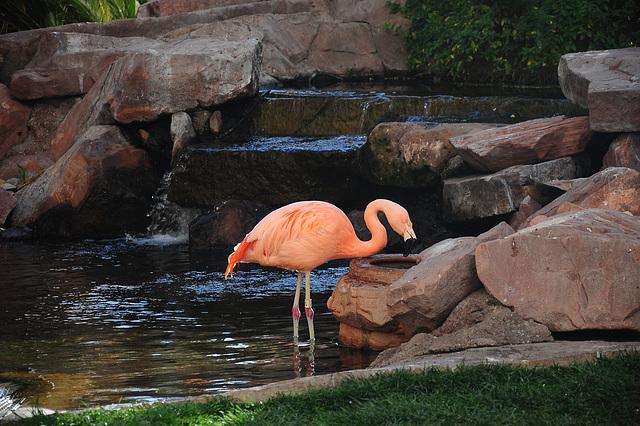 Durstiger Flamingo