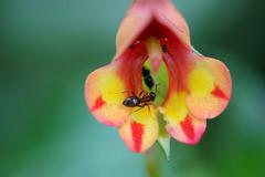 Besetzte Blüte (Wilhelma)
