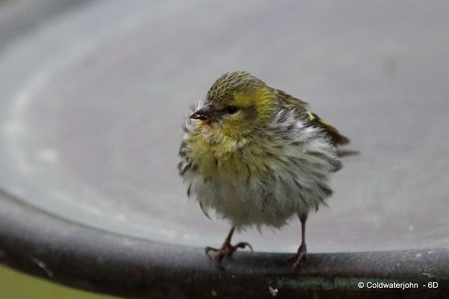 When you're a young Siskin noone ever warns you that birdbaths can be quite deep!