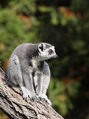 Katta (Zoo Augsburg)