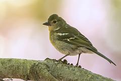 Pinzón Vulgar,Fringilla coelebs tintillon (♀)