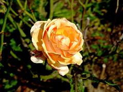 Une rose du château de Drée...
