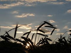 Abend über dem Weizenfeld